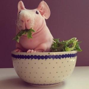 Tüysüz hint domuzu oldukça iştahlı bir canlı :)