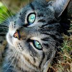 Tekir Kedi İle Birlikte Yaşamanız İçin 10 Harika Neden