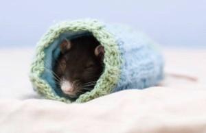 rat-in-glove