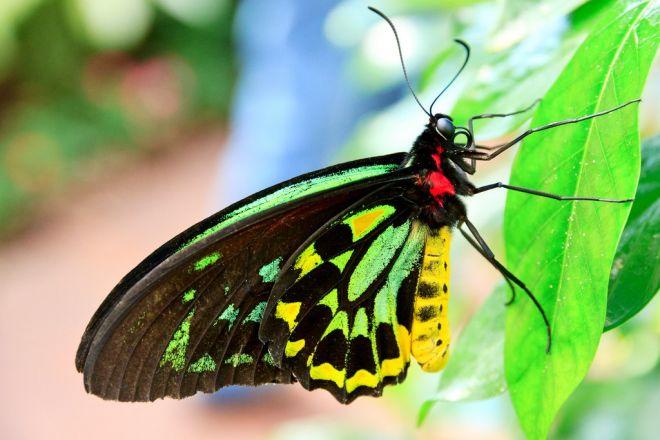 Dünyanın En Büyük Kelebeği Kraliçe Alexandra' nın  Kuşkanatlısı