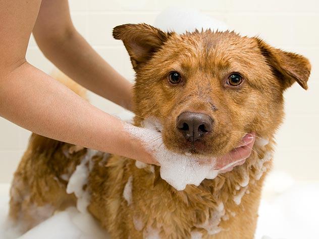 Köpeğinizi yıkarken şampuanına okaliptüs yağı katın.