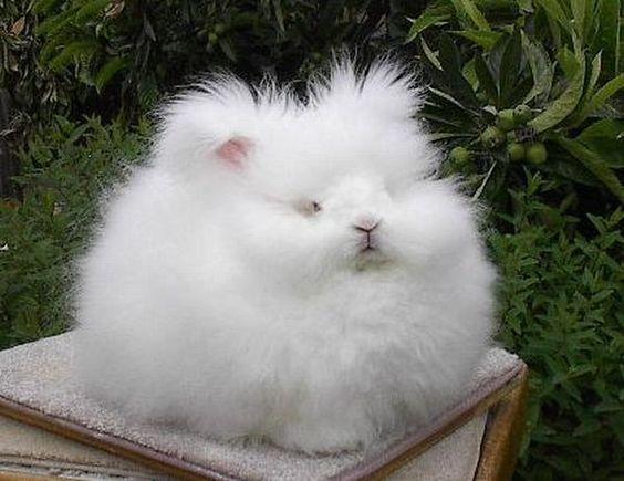 Angora tavşanının Türkiye'de nesli tükenmiş.