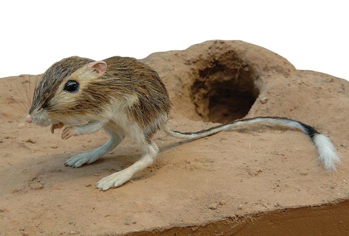 Kanguru faresi de su içmeden yaşıyor