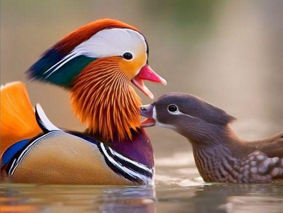 Mandarin ördeğinin nesli tükenmek üzere