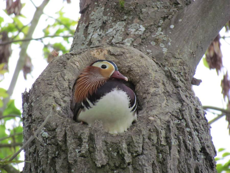 Mandarin ördekleri yuvalarını ağaç kovuklarına yaparlar.