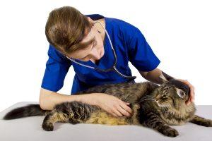Kedileri düzenli olarak veterinere götürmek önemli.