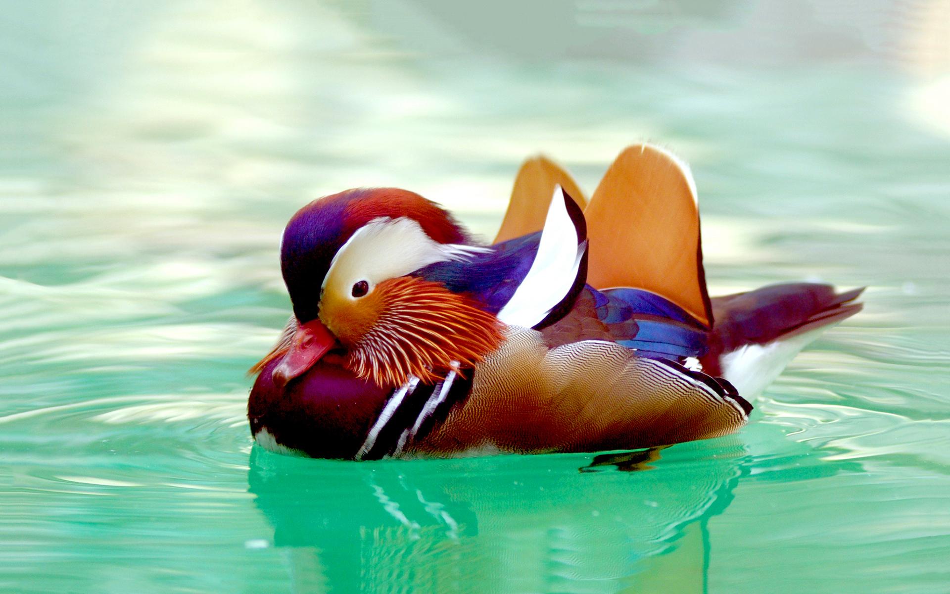 Ördek Camiasının Renkli Elemanı: Mandarin Ördeği