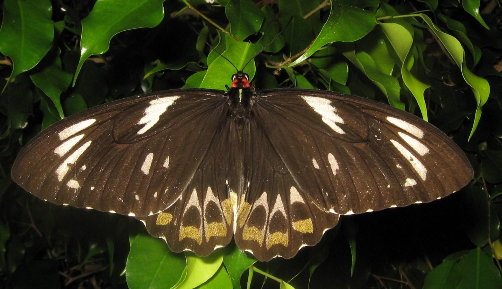 Dişi Kraliçe Alexandra'nın Kuşkanatlı kelebeklerinin kanatlarıysa kahverengi üzerine beyaz desenli oluyor.