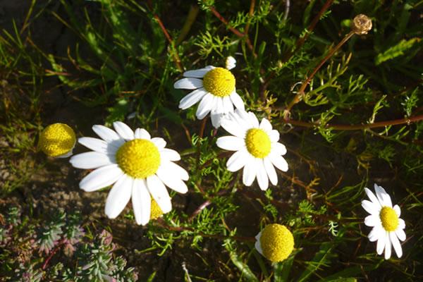 Alman papatyası en bilinen yenilebilir çiçeklerden biri.