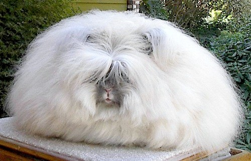 Angora tavşanı dünyaya Ankara'dan yayılmış.