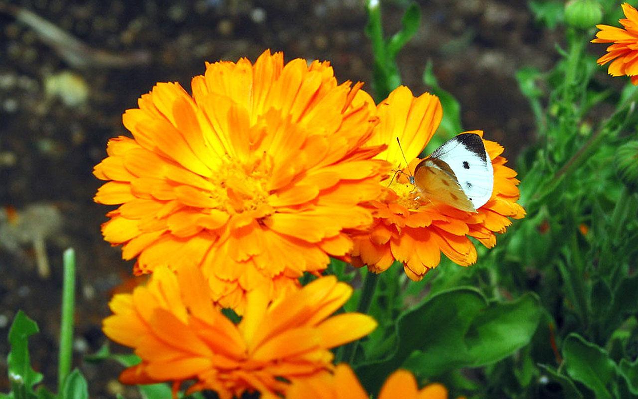 İşte yine baharlı ve acımsı tadı olan yenilebilir bir çiçek; aynısefa.