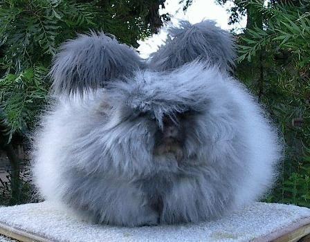 Bu tavşanlar yumuşacık tüyleri ile ünlü.