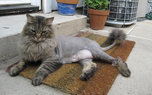 Kedileri tıraş ettirmek çok hatalı bir davranış!
