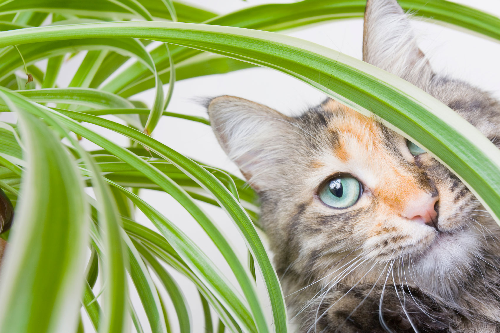 kediler için zararlı bitkiler