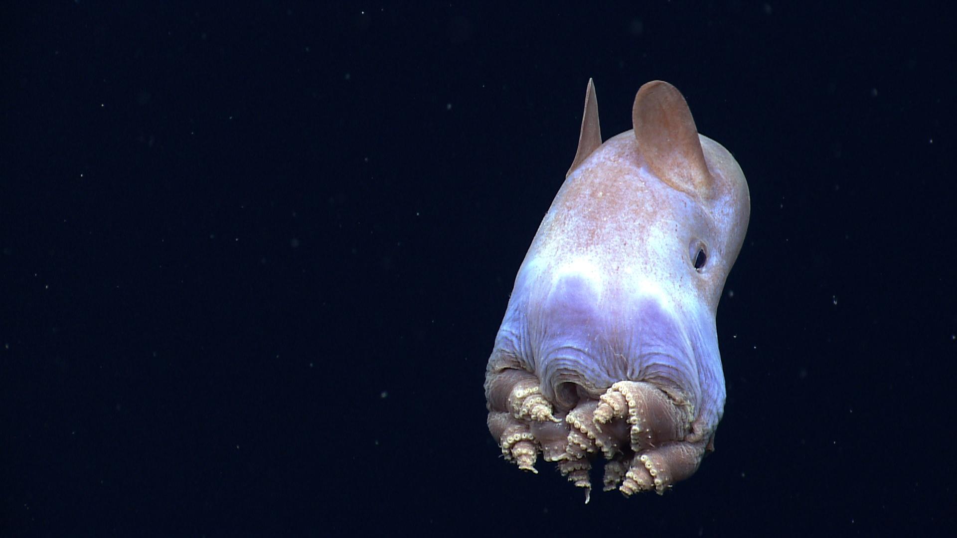 Dumbo ahtapotu 3000-4000 metre derinlikte yaşıyor.