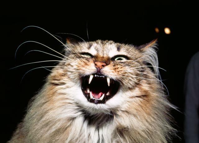 Kediler sert sevilmekten nefret eder!