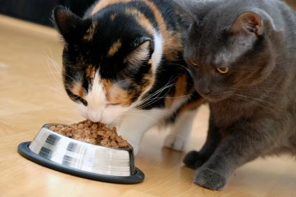 Bir kedi için mamasını diğer bir kedi ile paylaşmak hiç hoş değildir!