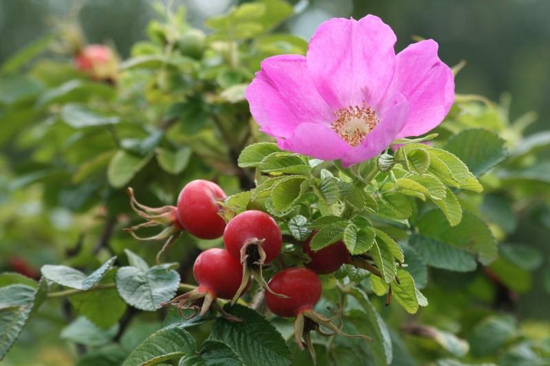 Japon gülünün çiçeğinin yanı sıra meyvesi de yeniliyor.