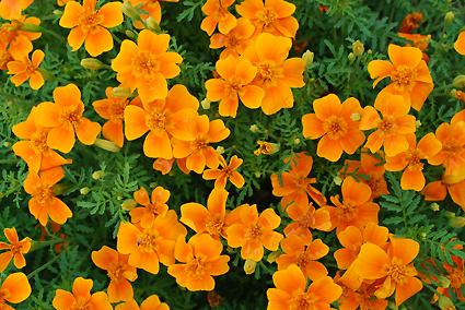 Baharat severler için kadife çiçeği harika bir seçenek.