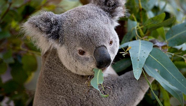 Koala su içmeyen hayvanların en tanınanı.