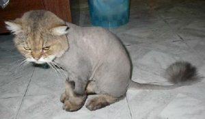 Tıraş edilmiş kedi