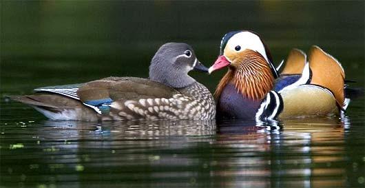 Dişi ve erkek Mandarin ördeği