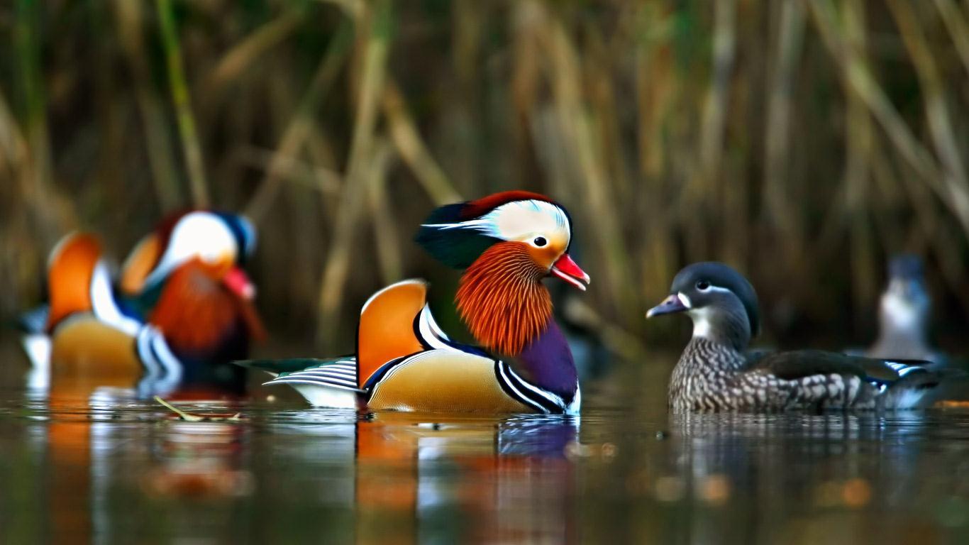 Mandarin ördeği Asya kökenli bir tür.