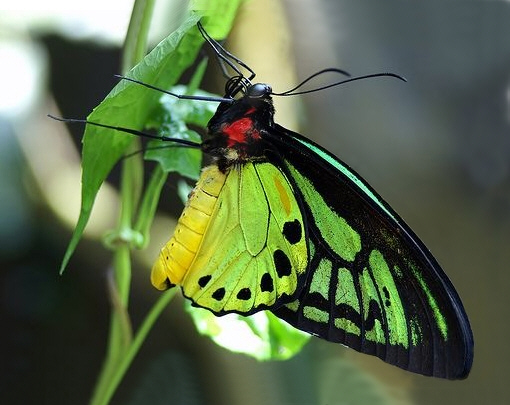 Kraliçe Alexandra kelebeklerinin erkekleri renkli oluyor