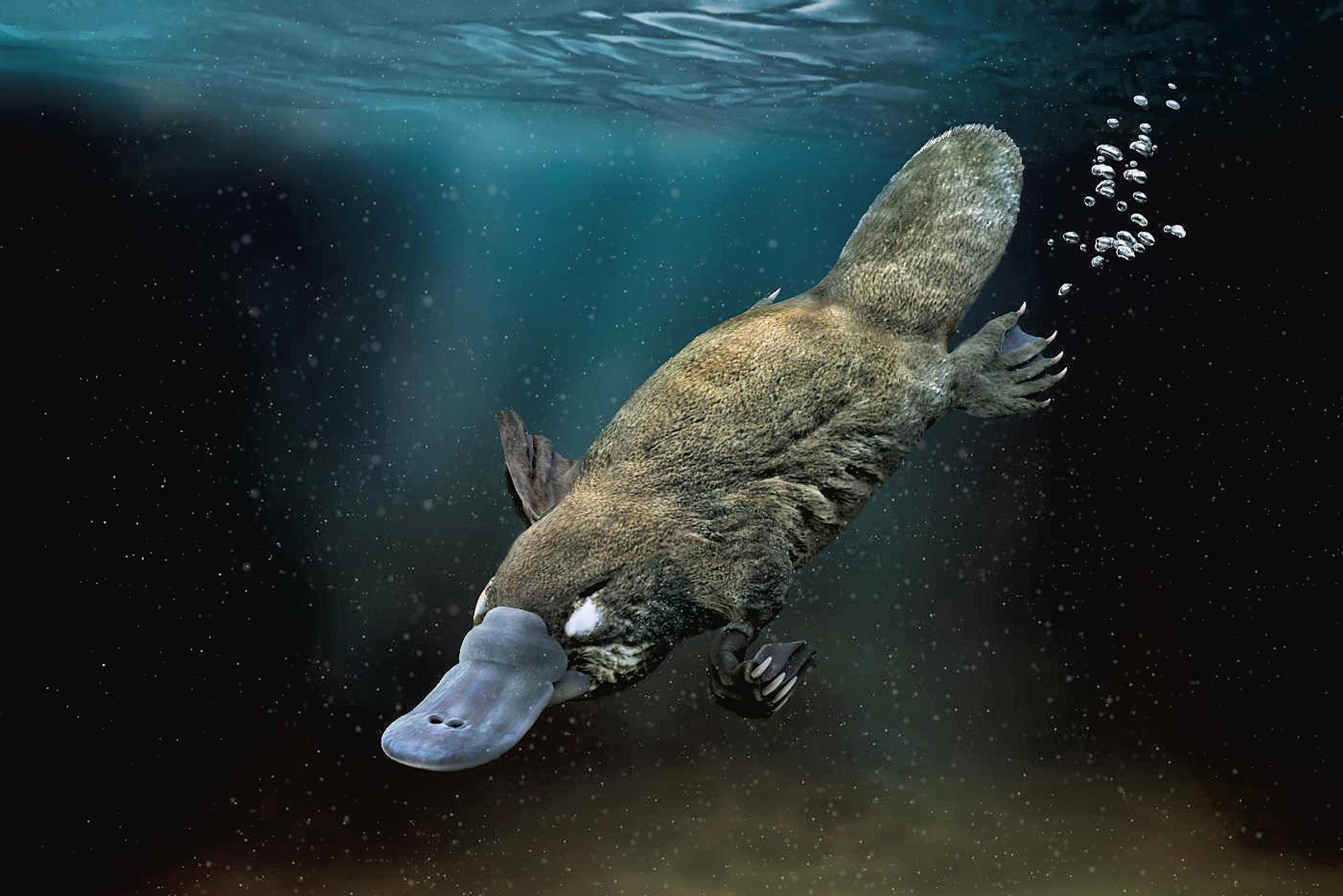 Ornitorenk yarı suda yaşayan bir hayvan