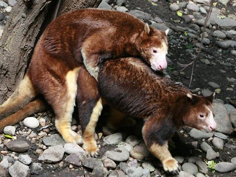 çiftleşen ağaç kanguruları