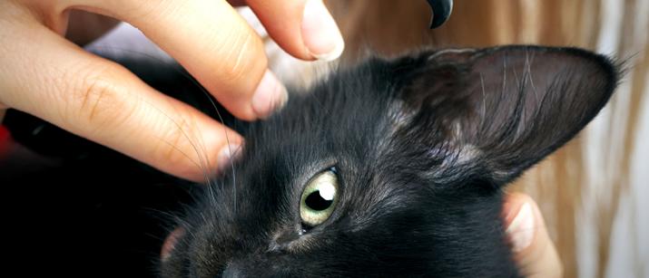 kedi kulağı