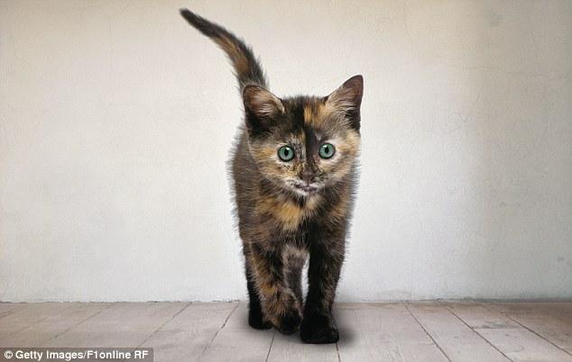 kuyruğunu dikmiş kedi