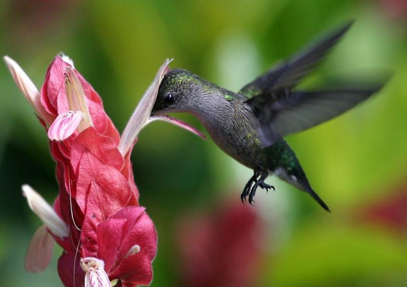 dünyanın en küçük kuşu