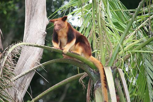 ağaç kangurusu2