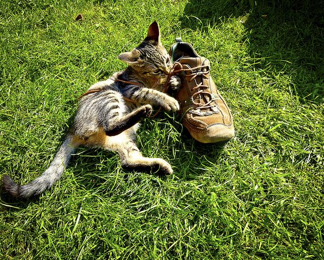 ayakkabı kemiren kedi