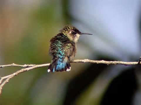 Dünyanın En Küçük Kuşu Arı Sinek Kuşu