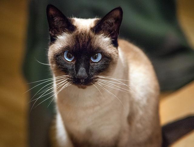 siyam kedisi