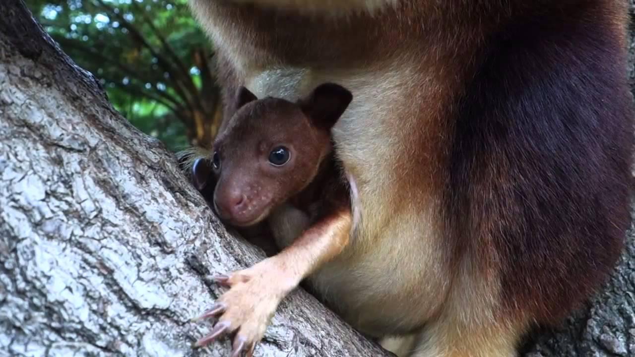 yavru ağaç kangurusu