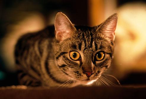 gece avlanan kedi