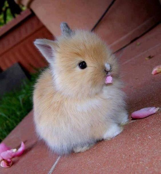 hollanda cüce tavşanı