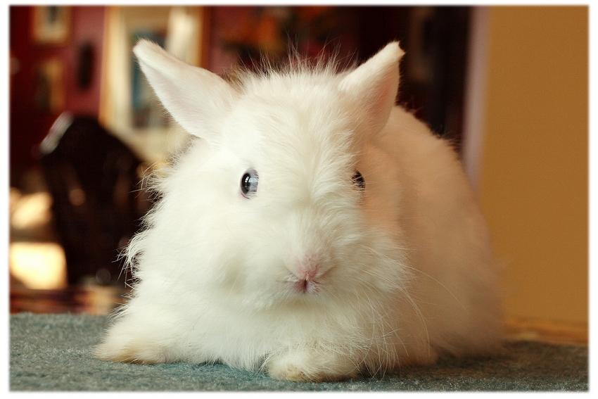jersey wooly tavşanı