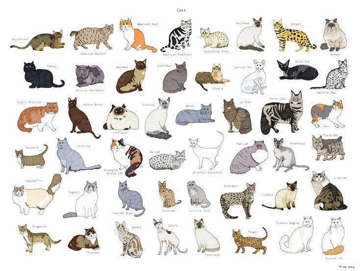 kedi ırkları