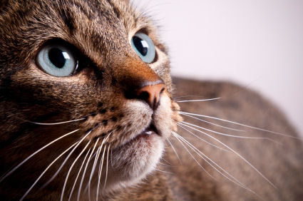 kedi bıyıkları