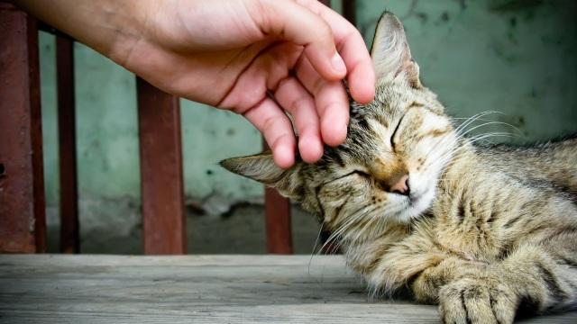 kedi-mırlamasının-faydaları