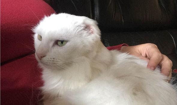 kedilerde güneş yanığı