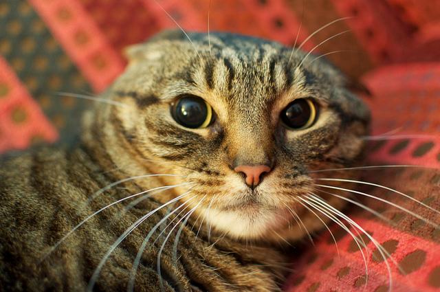 kedilerin-kulak-hareketleri-2