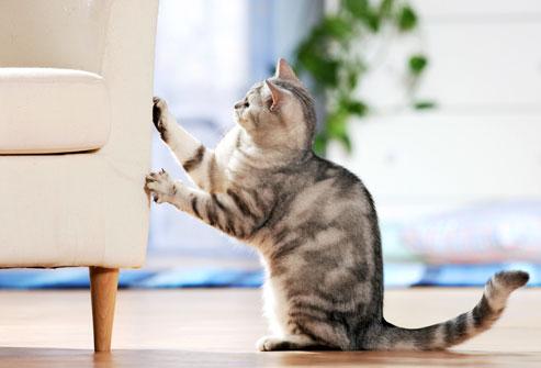 koltuğu tırmalan kedi