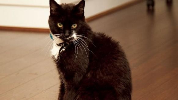 zengin kedi tommaso