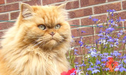 çilli-sarman-kedi