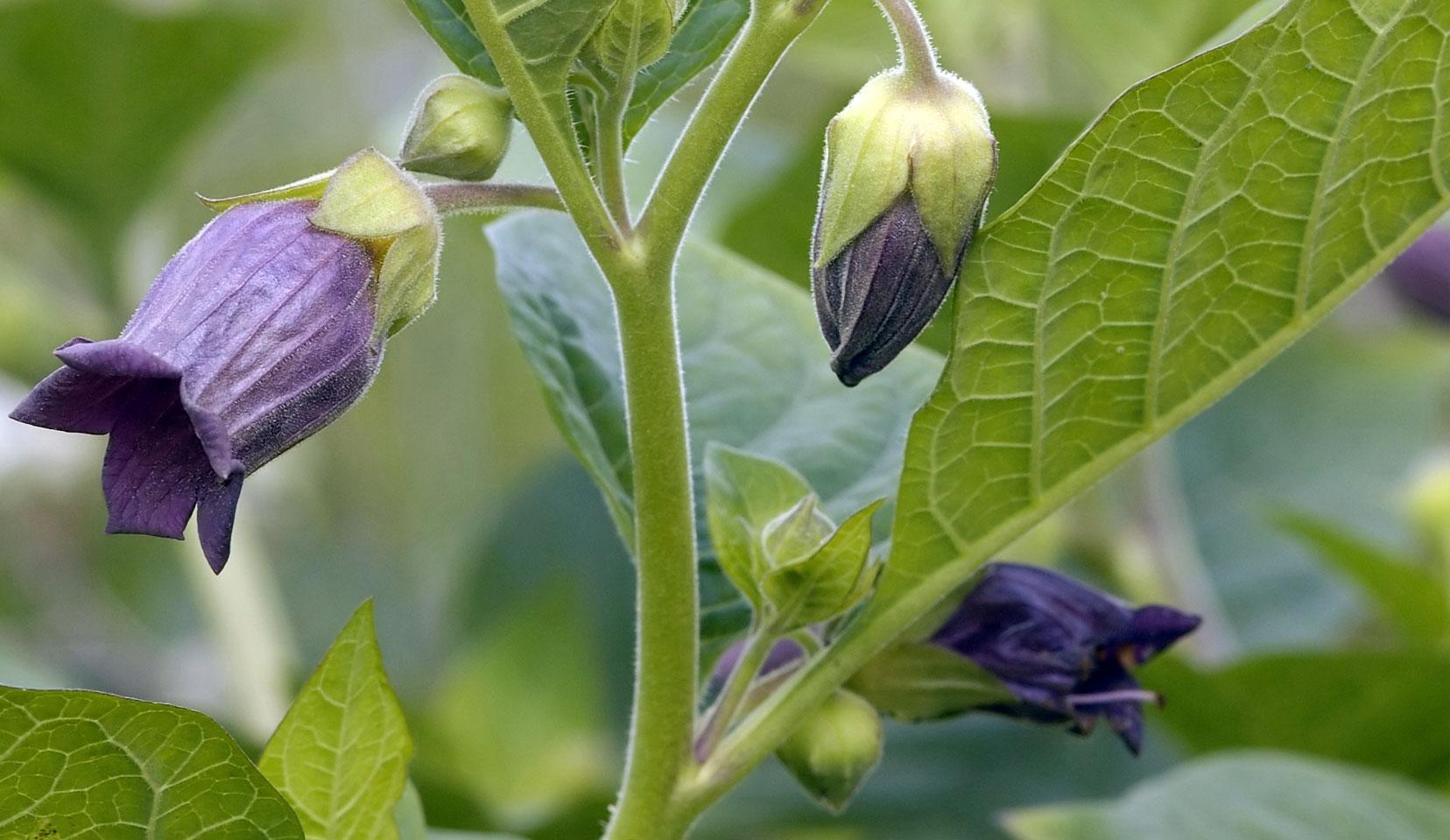 5 Çok Yaygın, Güzel Ve Ölümcül Bitki